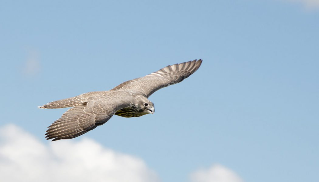 Falconry – Sport of the Skies