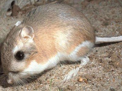 Kangaroo Rat – Animal that never drinks Water